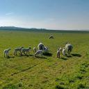 Lambs in Harwell Field